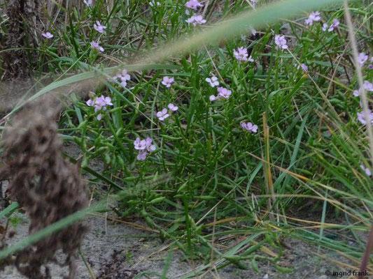 Cakile maritima ssp. maritima - Europäischer Meersenf
