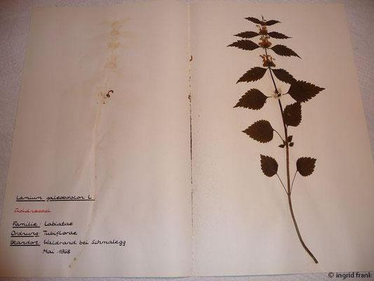 (100) Lamium galeobdolon - Goldnessel