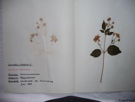 (4) Clematis vitalba - Gemeine Waldrebe
