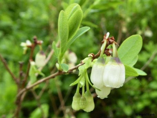 Vaccinium uliginosum - Rauschbeere