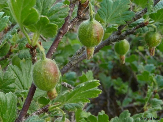 Ribes uva-crispa - Stachelbeere    IV-V
