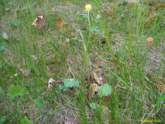 Ranunculus bulbosus / Knolliger Hahnenfuß
