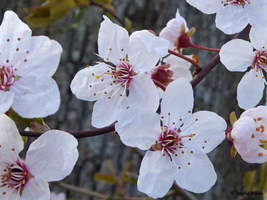 Prunus cerasifera - Kirschpflaume    III-IV