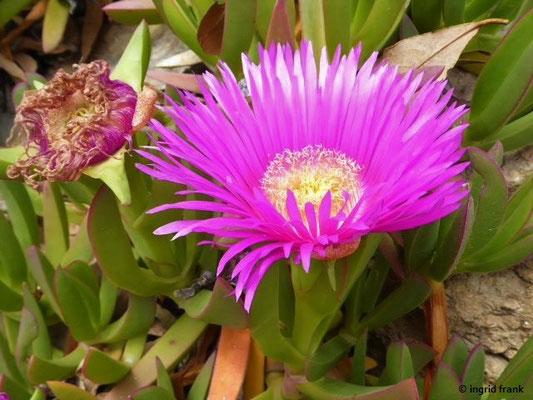 Carpobrotus acinciformis - Rote Mittagsblume