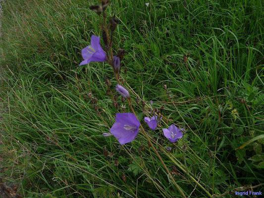 Campanula persicifolia / Pfirsichblättrige Glockenblume