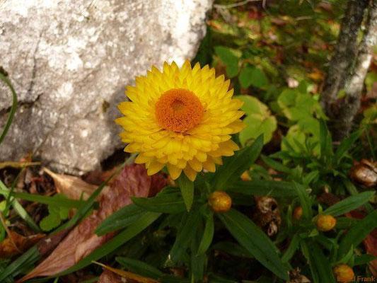 29.09.2010-Helichrysum bracteatum - Garten-Strohblume