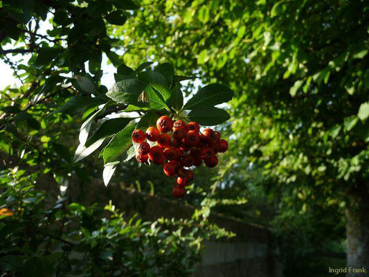Sorbus aria / Gewöhnliche Mehlbeere