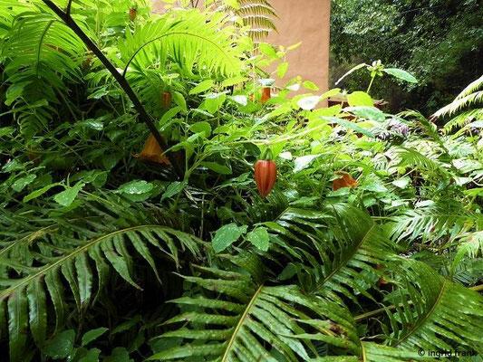 Canarina canariensis - Kanarenglockenblume