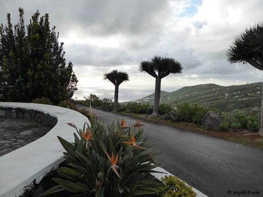 Strelitzia reginae - Königs-Strelitzie, Paradiesvogelblume (La Palma)