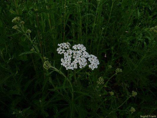 Achillea millefolium - Wiesen-Schafgarbe  (VI-X)