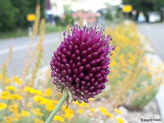 Allium sphaerocephalon / Kugelköpfiger Lauch (Blumenrabatte bei Zwiefalten)