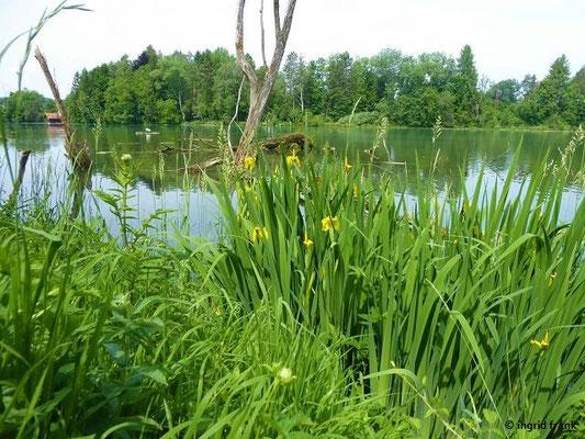 Iris pseudacorus / Gelbe Schwertlilie