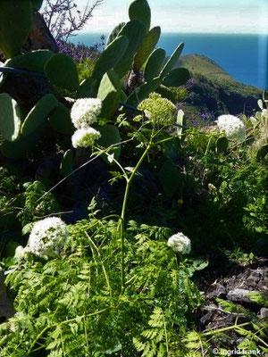 Todaroa aurea - Wohlriechende Todaroa