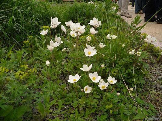 Anemone sylvstris - Großes Windröschen (angepflanzt als Straßenrabatte)