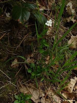 Arabidopsis halleri - Hallers Schaumkresse