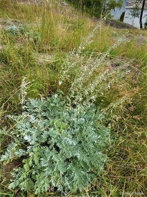 Artemisia absinthium - Echter Wermut