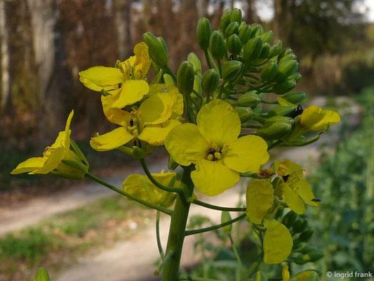 Brassica napus / Raps