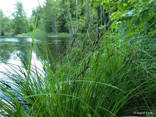 Carex elata - Steife Segge