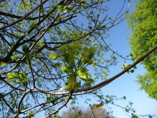10.04.2011-Acer platanoides - Spitz-Ahorn