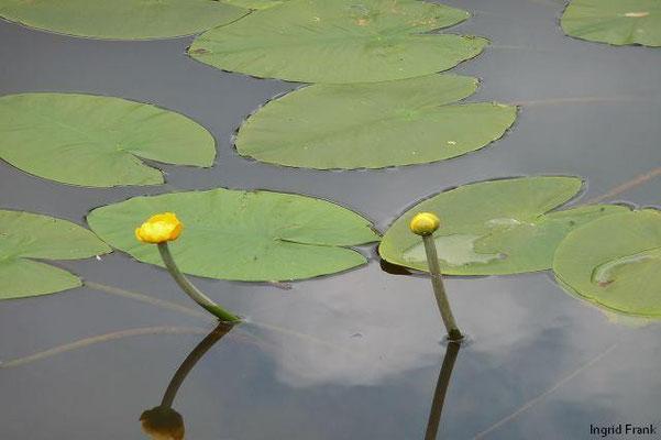 Nuphar lutea - Gelbe Teichrose