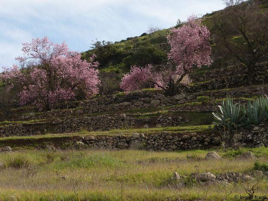 Prunus amygdalus dulcis - Süßer Mandelbaum