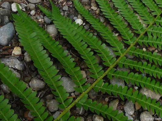Dryopteris filix.mas - Gewöhnlicher Wurmfarn    VII-IX