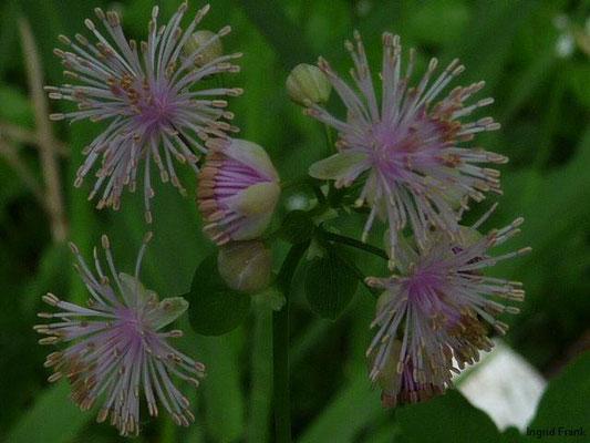 Thalictrum aquilegiifolium / Akeleiblättrige Wiesenraute     V-VII