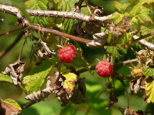 17.07.2017 - Himbeere / Rubus idaeus  (Obst)