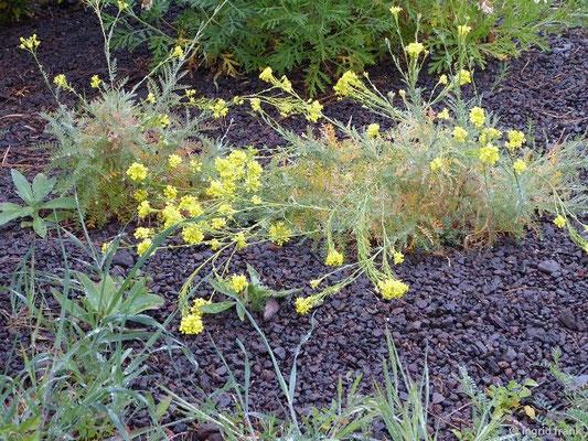 Decdurainia millefolia - Tausendblättrige Besenrauke