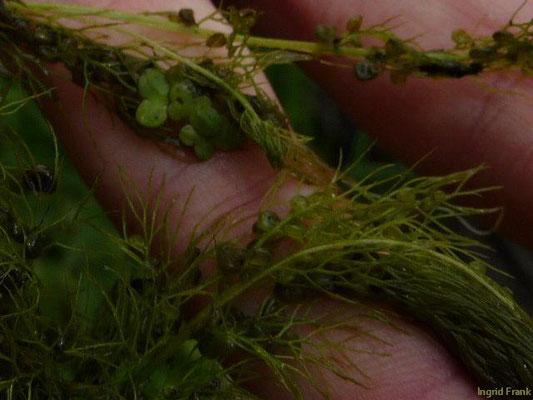 Utricularia australis / Südlicher Wasserschlauch