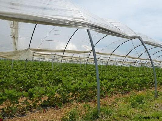 Feldmäßiger Anbau von Erdbeeren