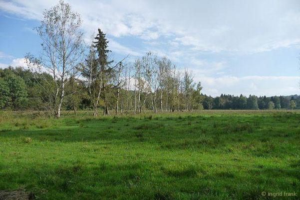 Betula pendula - Gewöhnliche Birke, Hänge-Birke