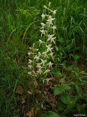 Platanthera bifolia - Weiße Waldhyazinthe