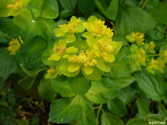 Euphorbia epithymoides - Vielfarbige Wolfsmilch    V-VI