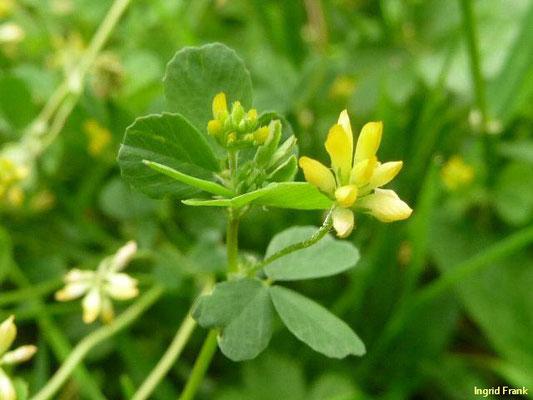 Trifolium dubium / Kleiner Klee