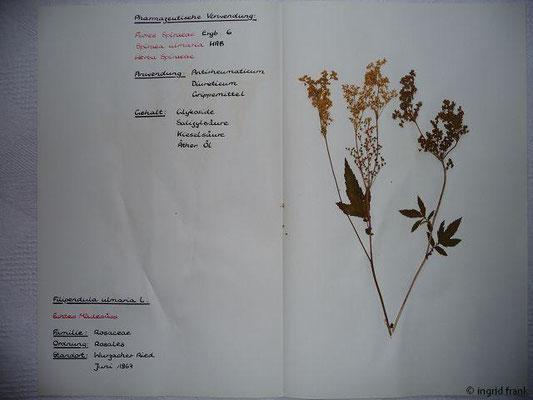 (31) Filipendula ulmaria - Echtes Mädesüß