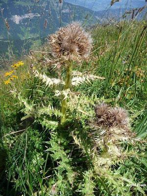 15.08.2009-Cirsium spinosissimum - Stachelige Kratzdistel