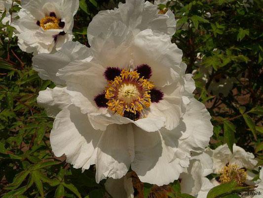 Paeonia suffruticosa - Strauch-Päonie    V-VI  (Fremdländische Pflanze)