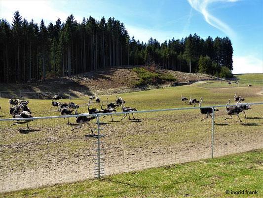 Die Straußenfarm Waldburg in HInterwiddum