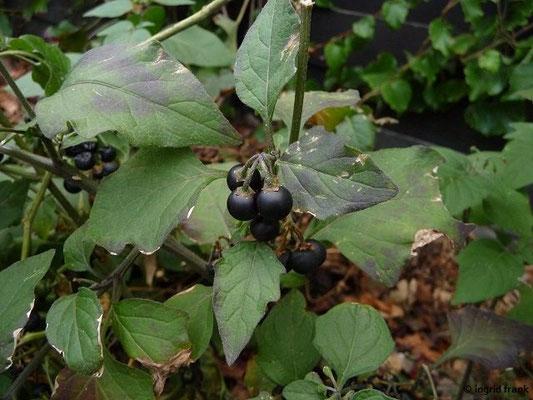 Solanum nigrum - Schwarzer Nachtschatten