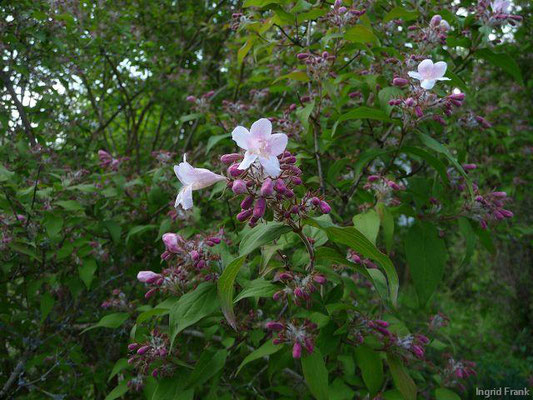 Weigela florida - Rosenrote Weigelie