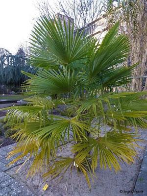 Trachycarpus fortunei / Hanfpalme, Tessinerpalme (Neophyt)