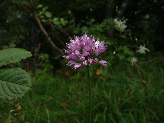 Allium senescens ssp. montanum - Berg-Lauch