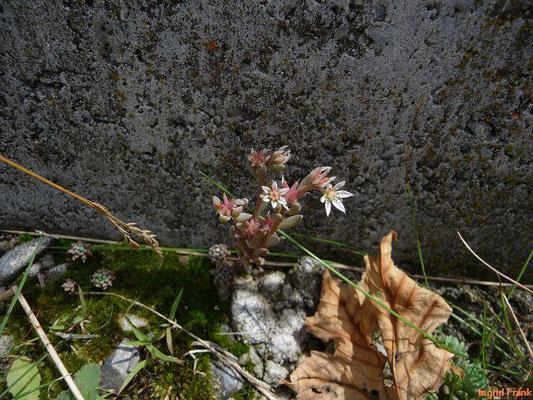 Sedum hispanicum / Spanische Fetthenne, Blaugrüne Fetthenne