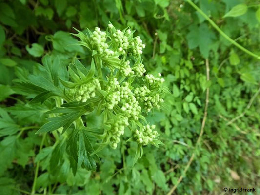 Pleurospermum austriacum / Österreichischer Rippensame