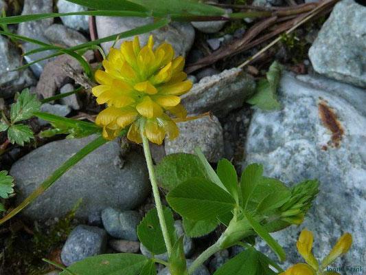 Trifolium aureum / Gold-Klee