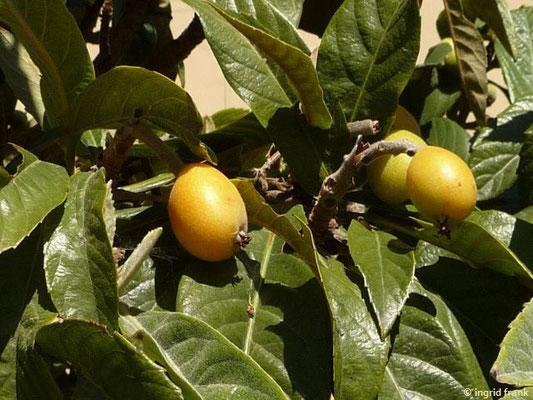 Eriobotrya japonica - Japanische Wollmispel, Nespoli
