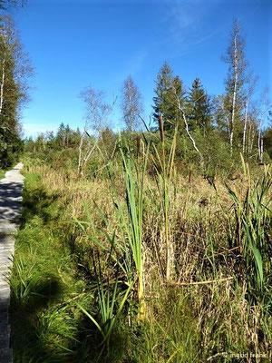 Typha latifolia - Breitblättriger Rohrkolben