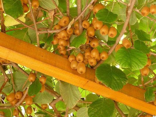 07.09.2012-Actinidia deliciosa, Kiwi, Chinesische Stachelbeere (Garten in Handschuhsheim)