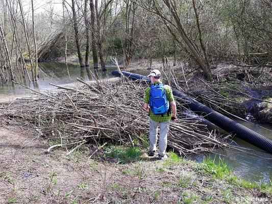 Biberdamm am Bampfen